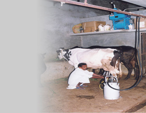 Rural farmer using milking machine for milking cross bred cow.