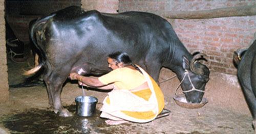 Rural woman milking buffalo.